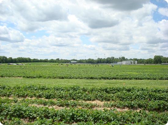strawberry fields Indiana